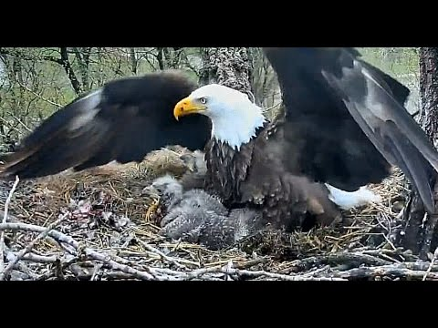 Bald Eagles Defending Their Territories From a Intruders 22/04/2017 ❂✩ 6 HOURS ✩❂