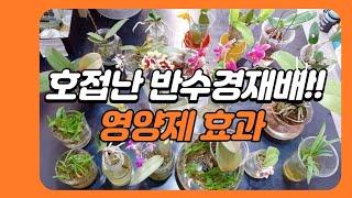 다양한 호접난 반수경재배, 영양제 효과/Various …