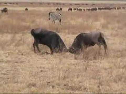 Ngorongoro Conservation Area: a Tanzania Safari with Tanzania Odyssey