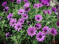 Facts about African Daisy Flower