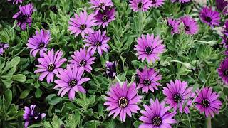 Gambar cover Facts about African Daisy Flower
