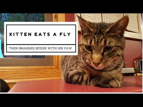 Bengal Cat Catches and Eats a Fly | Get Spider Web in his Whiskers