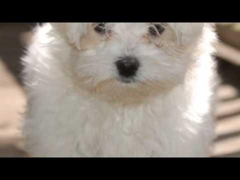 Conosciamo I Cani Maltese Youtube