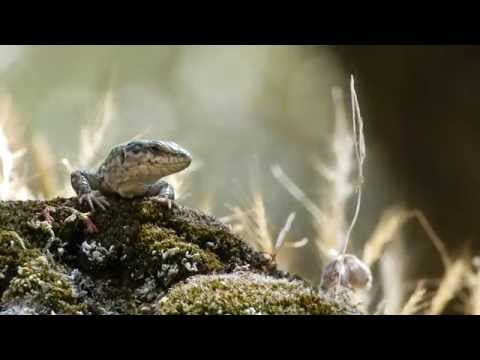 Feed Or Fight: Food Availability And Intraspecific Aggression For An Island Lizard