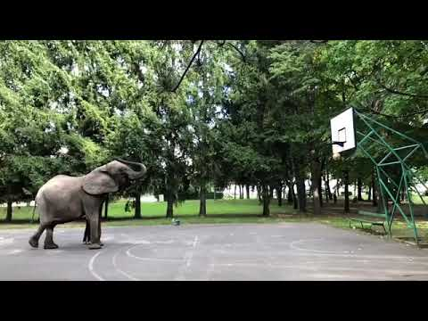 Elephant Shoots Perfect Basketball Goal With Trunk - 1011283-1