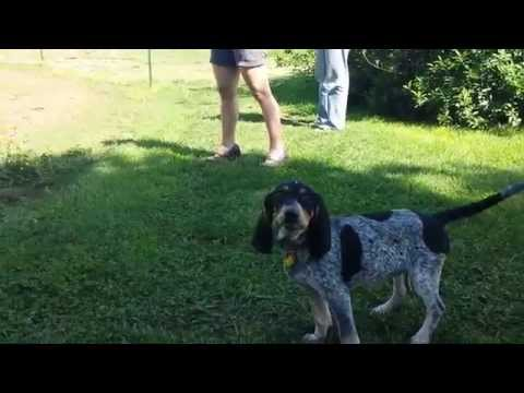 Blue Tick Coonhound Baying At Horse.