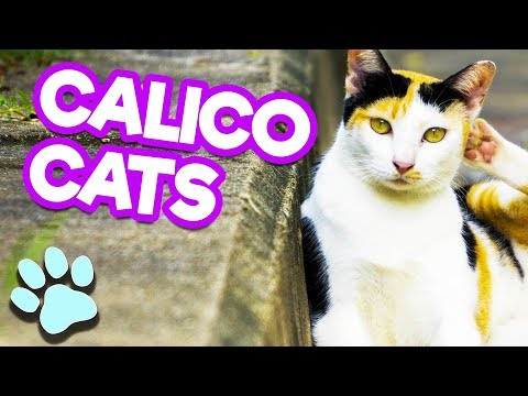 Calico Cats Look So Cool   #thatpetlife
