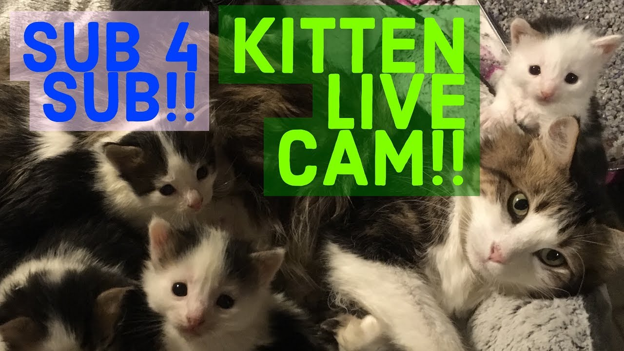 SUB4SUB LIVE KiTTEN CAM Get Subscribers and Kitten Love
