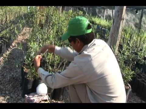 Vivero san gabriel injertos de olivos youtube for Viveros de olivos