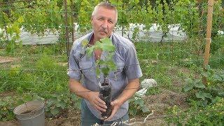 видео Посадка винограда