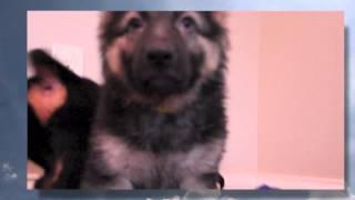 Aca German Shepherd/(akc) Rottweiler | Fox-oliver-spike-willy