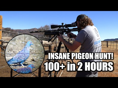 The Best Pigeon Hunt You'll Ever See!!