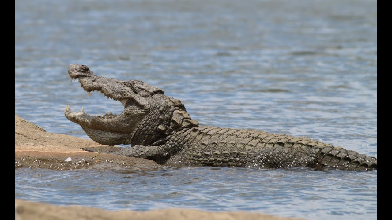 HUGE Mugger Crocodile - up clo...