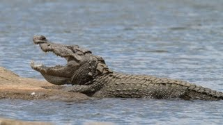 HUGE Mugger Crocodile - up close with the 'Water Monster'