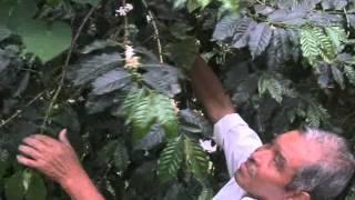PRODUCCIÓN DE CAFÉ EN HUEHUETLA PUEBLA