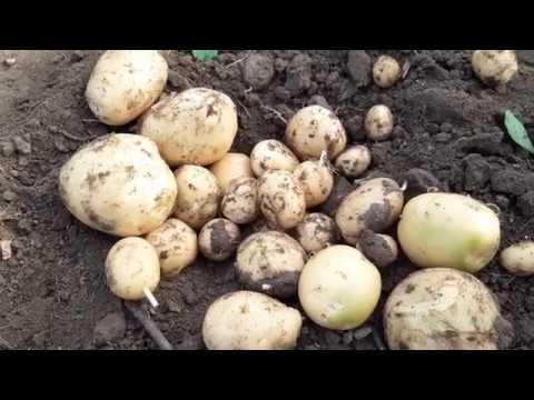 Подкапываем картофель ривьера.УРОЖАЙНСТЬ.