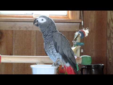 Poppy the African Grey's best talking video