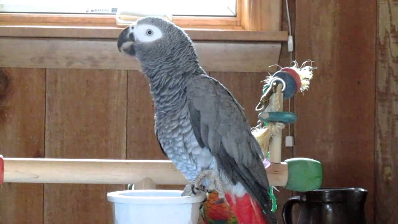 how to train an african grey parrot to talk