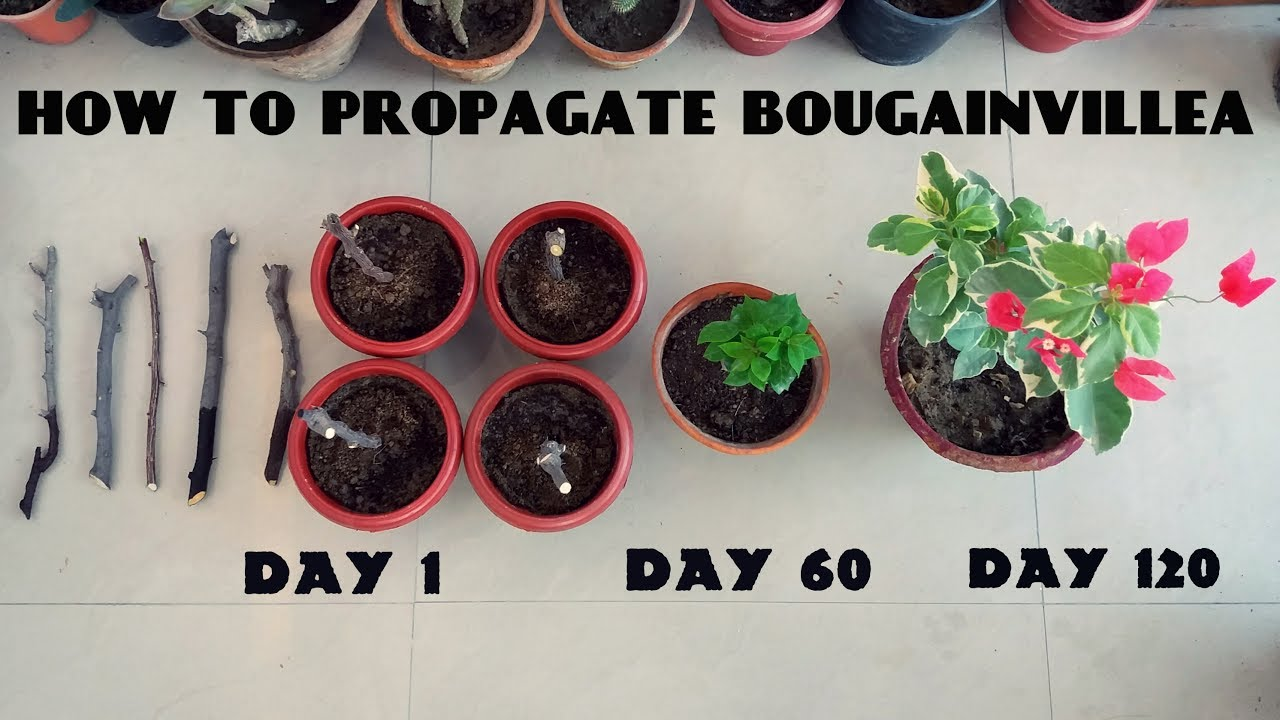 Do bougainvillea have seeds