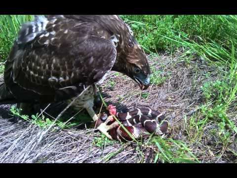 Hawk Vs King Snake Large M4v Youtube
