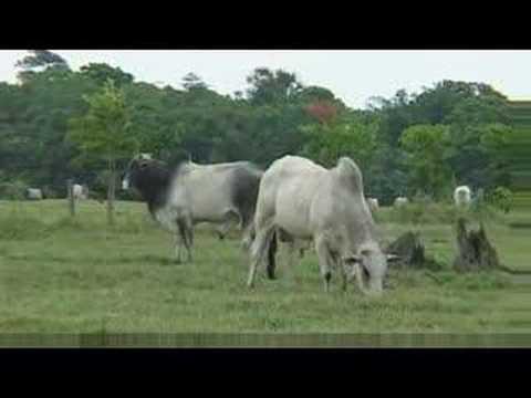 Brazil to Lebanon: Live transport of cattle 2/2