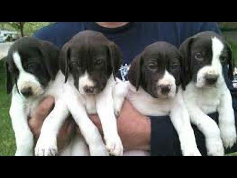 Wite and black mix bridge dog baby Indian dog baby's uploaded byh k animal Govardhan 3 million views