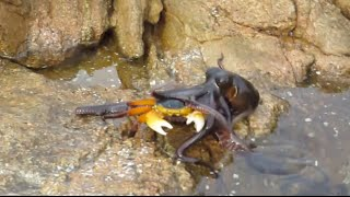 Ozzy Man Commentates an Octopus Eating a Crab