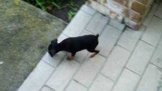 Our Min Pin Journey: Roaming Around - 8 Weeks