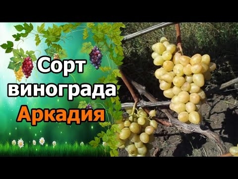 🍇Сорт винограда Аркадия. #СтоловыеСортаВинограда.