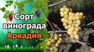 🍇Сорт винограда