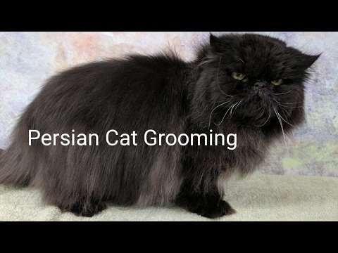 Persian Cat Grooming