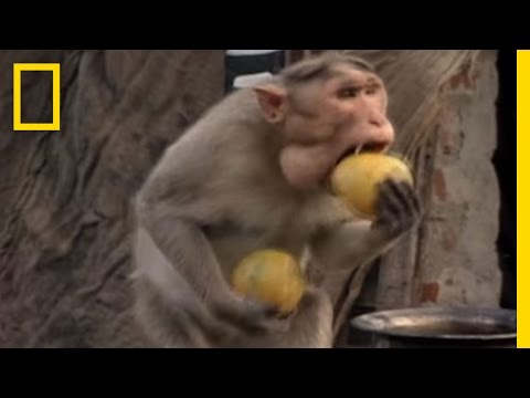Thumbnail: Monkey Thieves Raid People's Homes | National Geographic