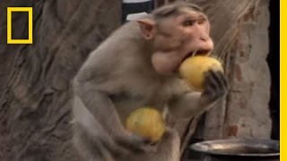 Monkey Thieves Raid People