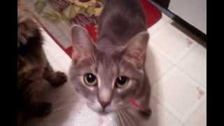 Кошка по имени Мышка облизывается