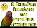 Tips And Tricks Tahap Mencetak Lovebird Gacoan Anda  Mp3 - Mp4 Download