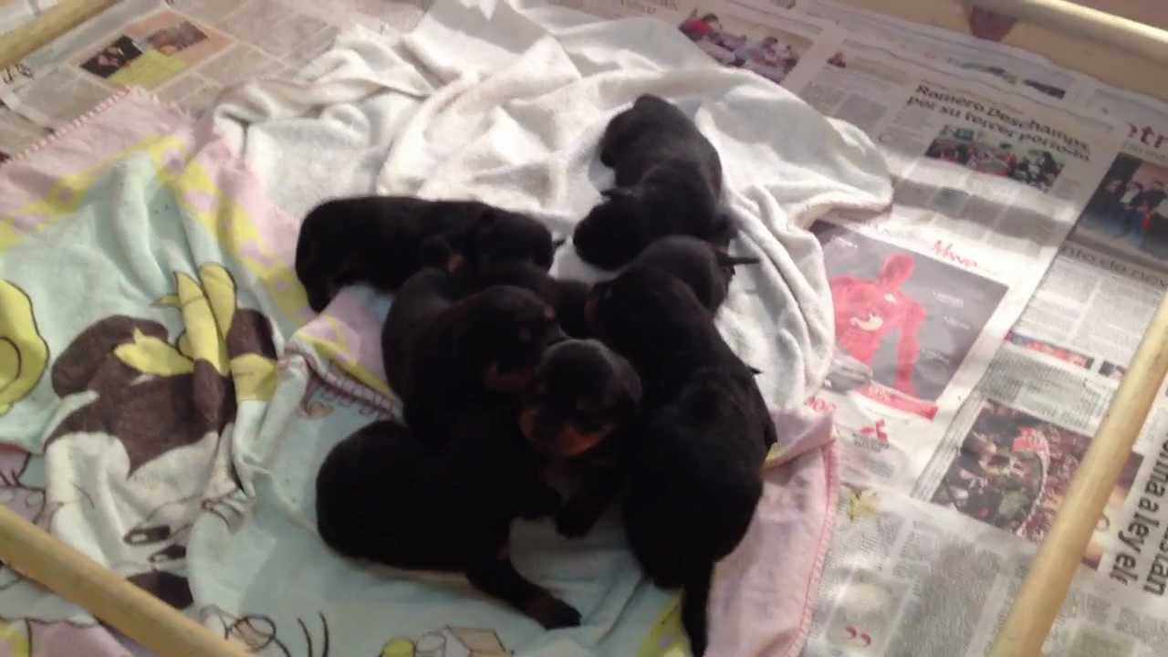 New Born Rottweiler Puppies 2 Youtube