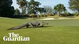'Monster' alligator invades golf course in Georgia
