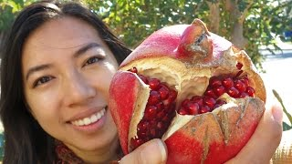 How To Grow Pomegrantes