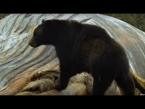 Humpback whales and black bears - Blue Planet - BBC