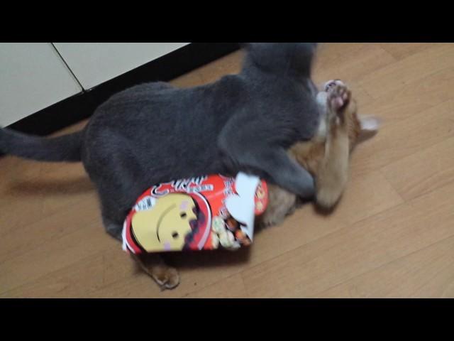 箱にハマって身動きできないメスにも容赦なく襲い掛かる悪猫