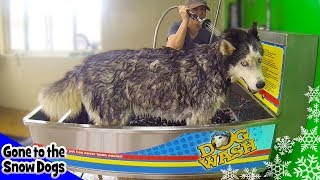 Siberian Husky Oakley Bath At The Dog Wash | Gopro