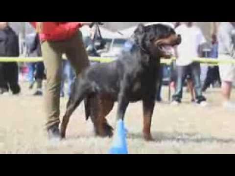 German Rottweiler Vs American Rottweiler Youtube