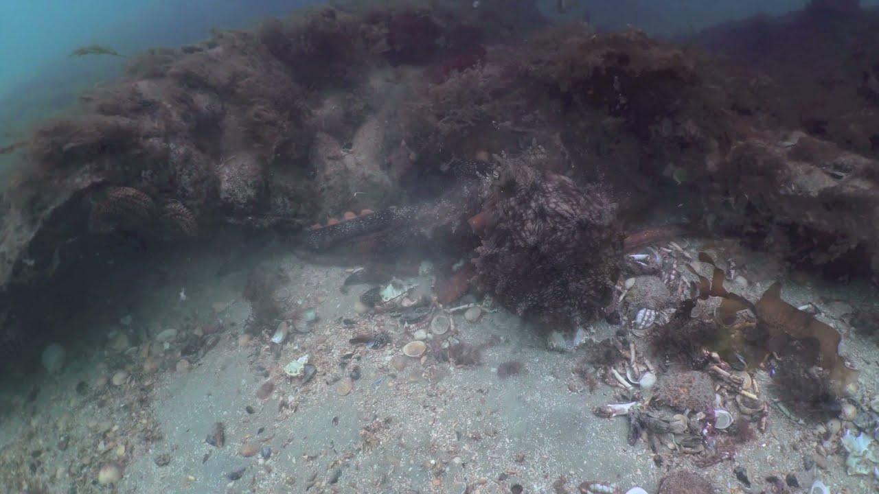 Octopus eats Crabs