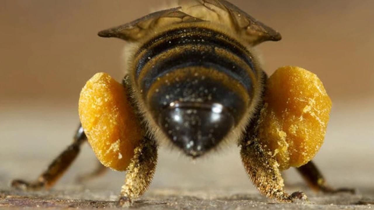 Las abejas pueden cambiar al 'modo económico' cuando cargan pesado