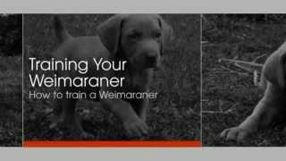 Training Your Weimaraner