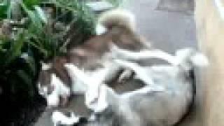 Harlen & Lola (siberian Huskies)