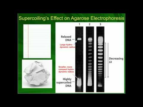 Effect Of DNA Supercoiling On Agarose Electrophoresis