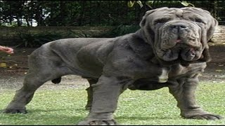 Top 10 Biggest Dogs In The World - 2016