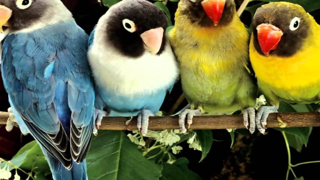 Que significa en español lovebird