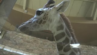 Visiting Willow The Baby Giraffe